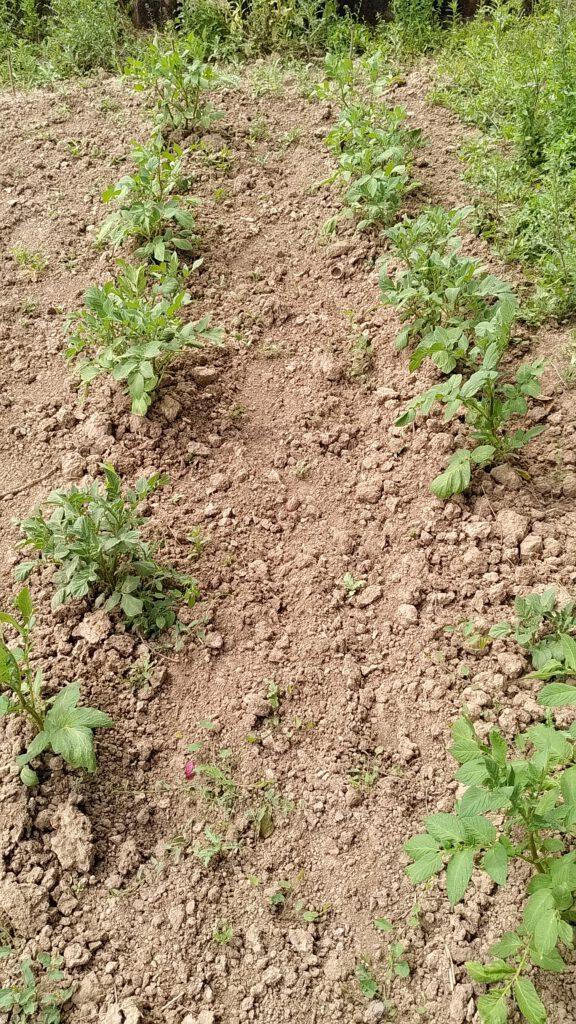 Kartoffelreihe (2) - auch ohne Regen ganz stattlich