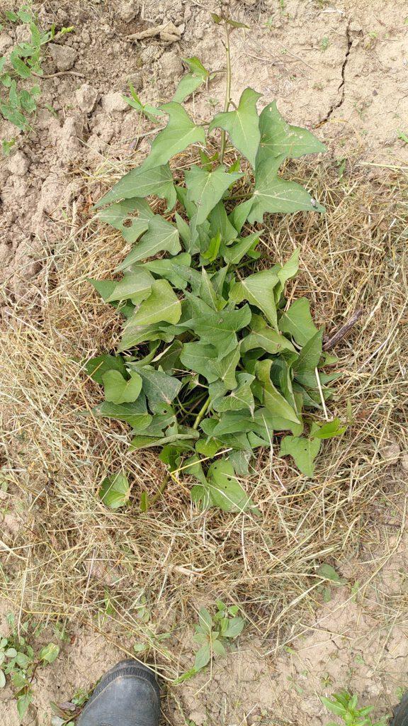 Süßkartoffel - und sie wächst und wächst
