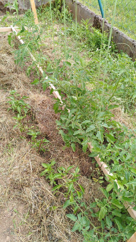 Tomaten und Pepperonis (1)