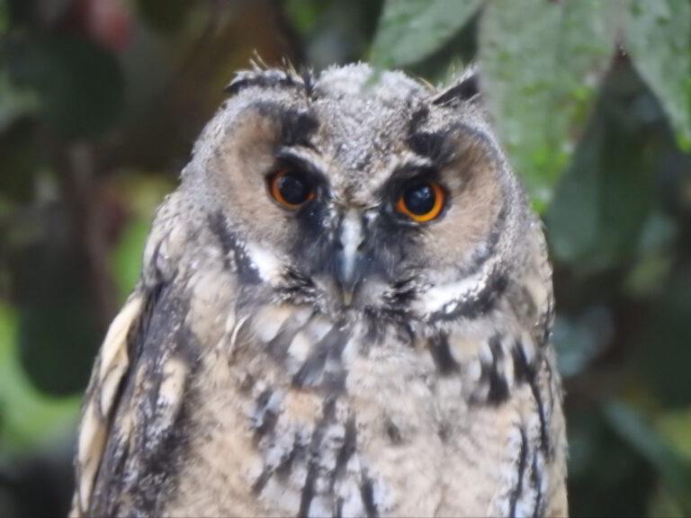 Waldohreule Hedwig